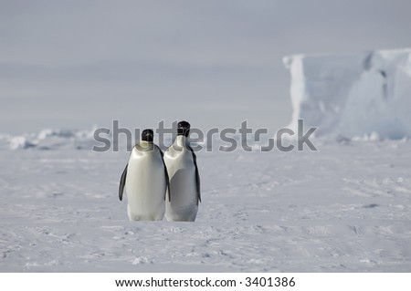 Two emperor penguins standing in a beautiful Antarctic pack ice scenery with a table iceberg in the background. Picture was taken near the tip of the Peninsula during a 3-month Antarctic expedition. - stock photo