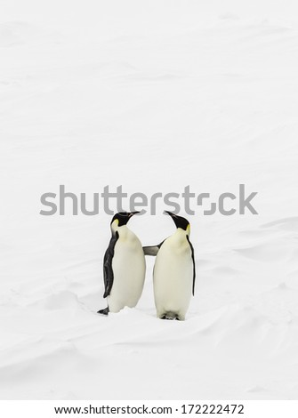 Two emperor penguins standing up and touching each other - stock photo