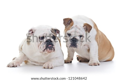 Two English Bulldog Dogs looking down, over white