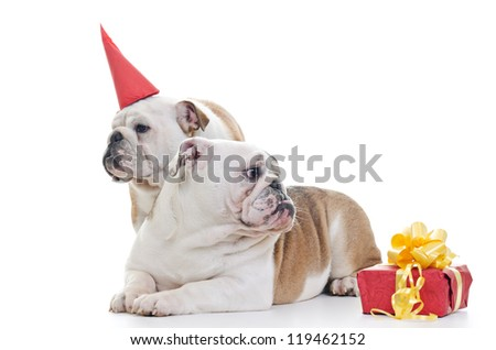 Two English Bulldog dogs over white background, One wearing red party hat, Other laying and looking off camera, Horizontal shot