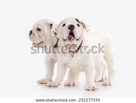 Two English bulldog puppies on white background - stock photo