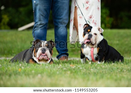 Two English Bulldogs on leashes relax in the grass with their owners behind them. Dog walking date idea for couple or engagement photos.