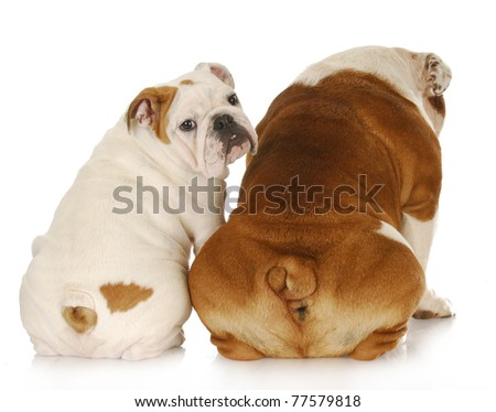two english bulldogs with backsides to viewer with one looking over shoulder - stock photo