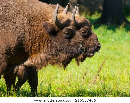Two european wood bisons (wisent or Bison bonasus) in Bialowieza forest - stock photo