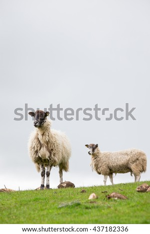 Two ewe sheep looking in green field