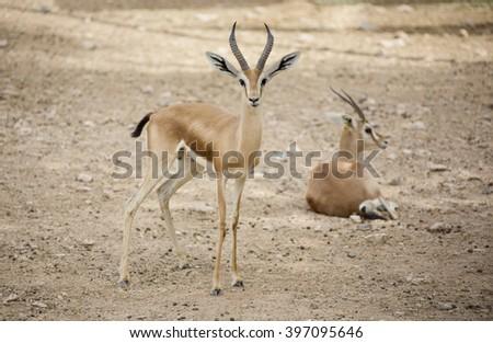 Two extremely shy wild female Dorcas Gazelle (Gazelle dorcas) or Ariel Gazelle in  rock desert and sand dunes - stock photo