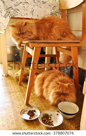 two fat cat Persian eating in kitchen - stock photo