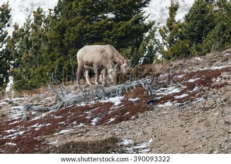 Two Female Bighorn Sheep grazing on the hillside. - stock photo