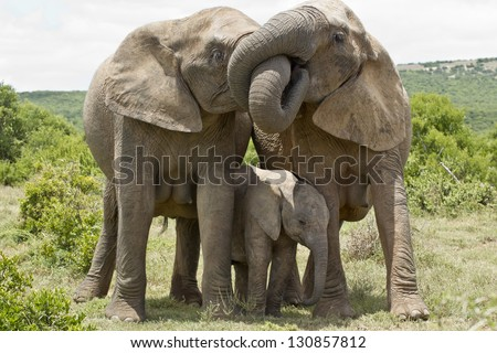 two female elephants standing and embrassing each other with their trunks - stock photo