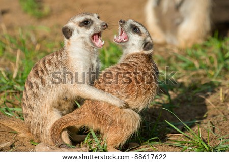 Two female meerkat find out attitudes among themselves