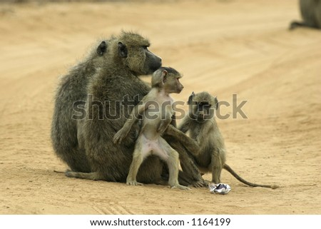 two female yellow baboons and their offspring - stock photo