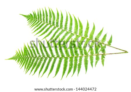 Two ferns isolated on white - stock photo