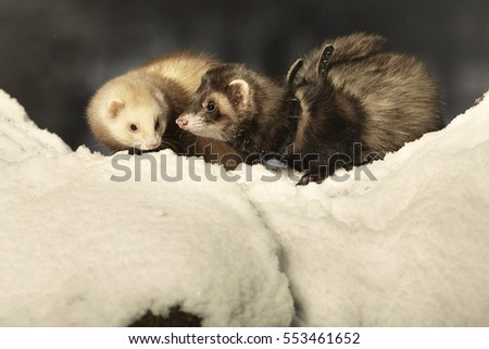 Two ferrets on snow