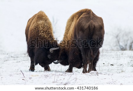 Two fighting (butting) American bison. Two huge buffalo (American bison) butting on the snow. Two American bison in the frosty winter steppe.