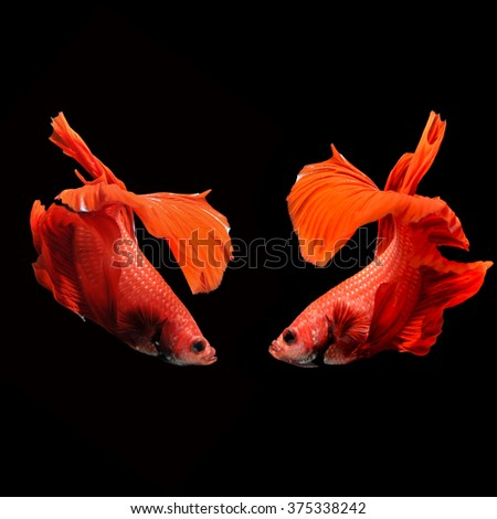 two fighting fishes on black background