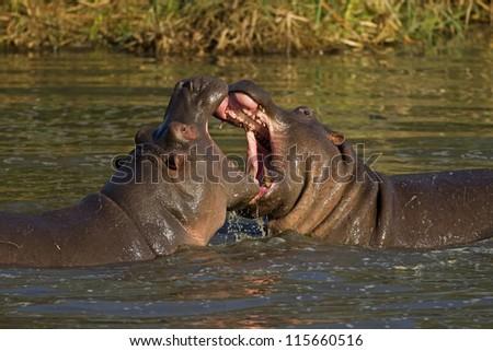 Two fighting hippos; Hippopotamus amphibius; South Africa - stock photo