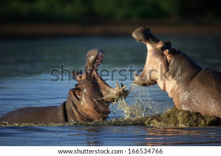 Two fighting hippos; Hippopotamus amphibius; South Africa - stock photo