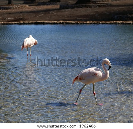 Two flamengos in a lake - stock photo