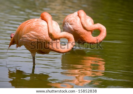Two flamingos resting on pond - stock photo