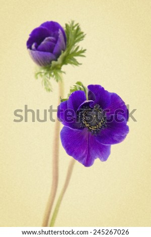 two flowers of anemone on a white background. Picture in retro style. - stock photo