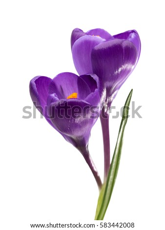 Two flowers crocus isolated on white stock photo 100 legal two flowers of crocus isolated on white background mightylinksfo