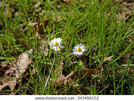 two flowers on field amongst herbs - stock photo