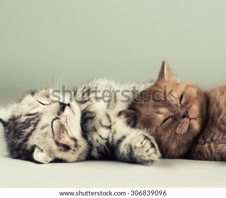 two fluffy gray beautiful kitten, breed scottish-fold,  lie portrait  on grey  background  - stock photo