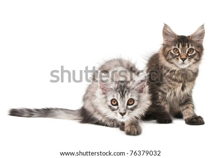 Two fluffy kittens isolated on white background