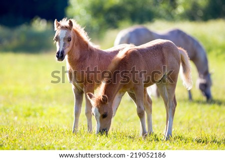 Two foals in pasture in summer - stock photo
