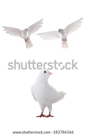 two free flying white dove isolated on a white background - stock photo