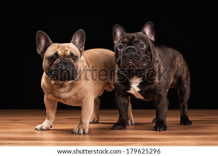 Two French bulldog puppies on black background with wooden texture - stock photo