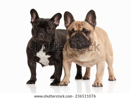 Two French bulldog puppies on white background - stock photo