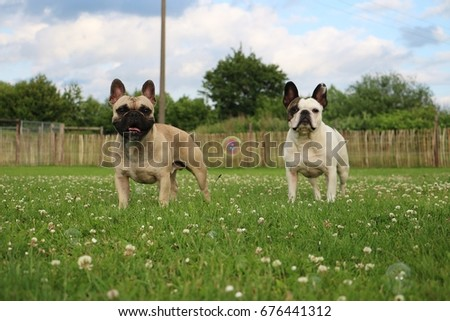 two french bulldogs are standing in the garden