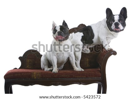 two french bulldogs sitting on a red couch isolated on a white background