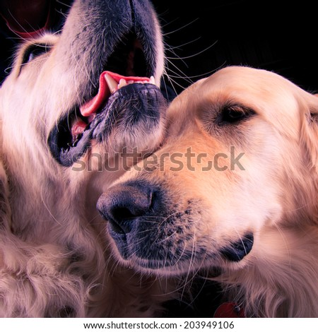 Two friendly labradors - stock photo