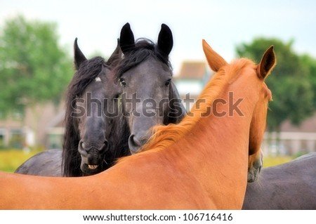 Two friesians and a brown horse - stock photo
