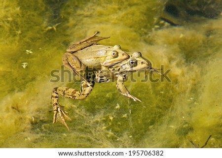 Two frogs in coupling in a pond - stock photo
