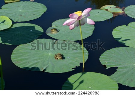 Two frogs on lotus leaves and a pink flower in the pond