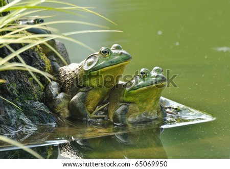 Two frogs sit side by side by a pond - stock photo