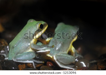 Two frogs sit side by side waiting for dinner to fly nearby. - stock photo