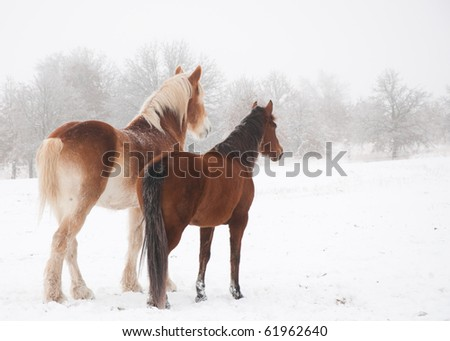 Two frosty horses, a big and a small one, looking into distance on a cold foggy winter day - stock photo