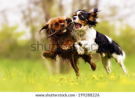 two fun cavalier king charles spaniel dog and puppy running in summer nature - stock photo