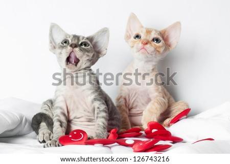 two funny devon rex kittens - stock photo