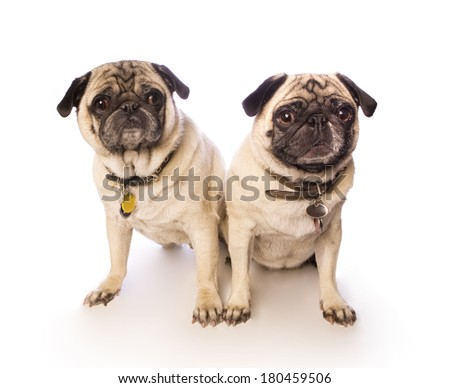 Two funny pug dogs sitting on white background - stock photo