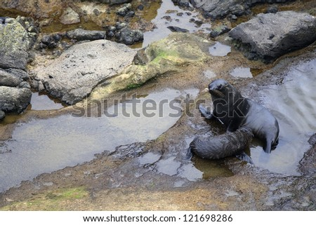 Two fur seals on the rocks in New Zealand - stock photo