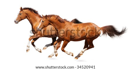 Two gallop horses - sorrel trakehner stallion isolated on white