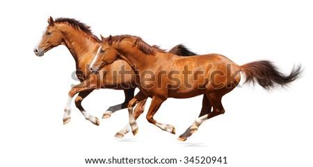 Two gallop horses - sorrel trakehner stallion isolated on white - stock photo