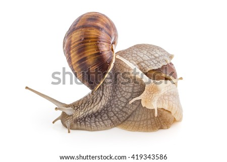 Two garden snails (Helix aspersa) isolated on white background. Mollusk. Teamwork concept - stock photo