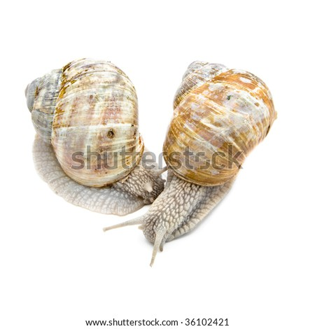 Two garden snails on white background