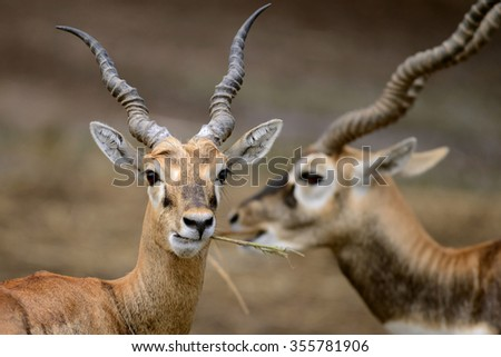 Two Gazelle Antelope Eating Grass  - stock photo